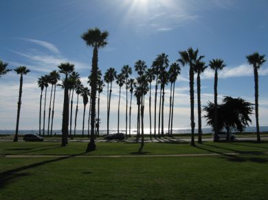 Californian Palm Trees
